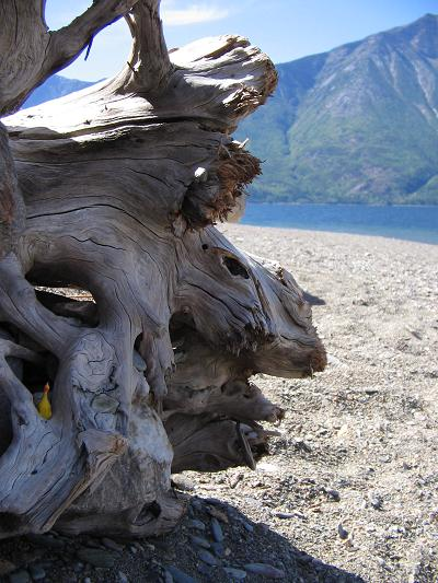 rubber-chicken-in-driftwood-small.jpg