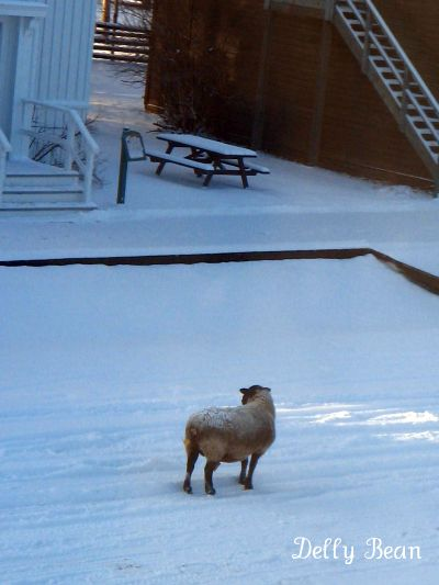 lowly-sheep