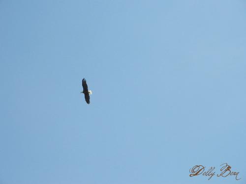 Eagle June 9 2009