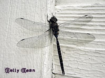 Picnik'd Dragonfly July 09